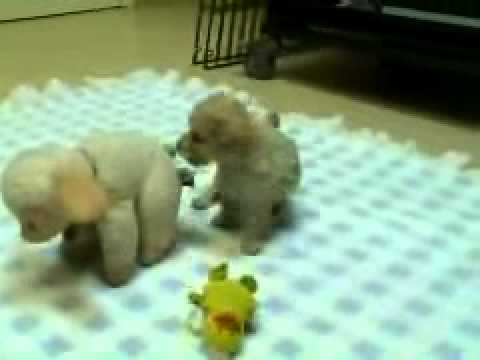 Apricot toy poodle puppy for sale