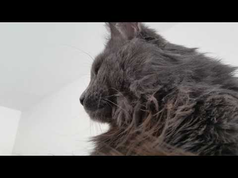Close-up on sleepy Maine Coon/Norwegian Forest Cat!