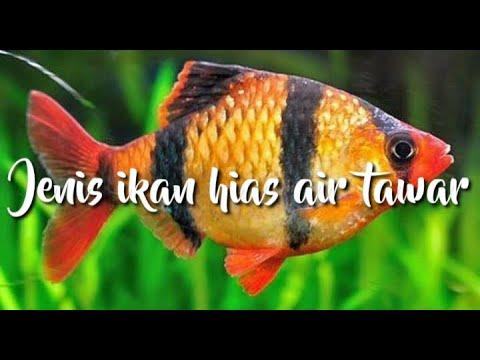 ikan-hias-air-tawar-|-ikan-hias-air-tawar-untuk-aquarium