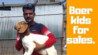 Nimkar pure Boer Goat Farm Phaltan Explained By Malhari Sir  Hindi part 1