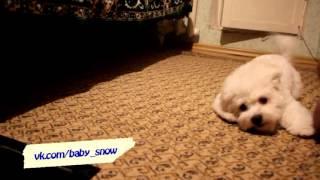 Бишон Фризе - лучшая собака на земле!