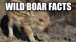 Facts About Wild Boars