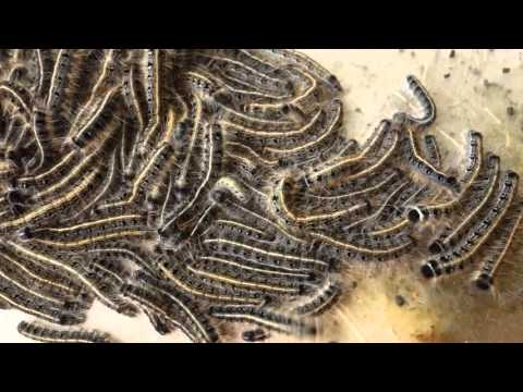 Tent caterpillars in Homestead, Pennsylvania