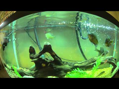 U s native fish game fish feeding compilation pike for Bluegill fish tank