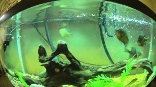 bluegill and crappie vs goldfish fish tank feeding frenzy