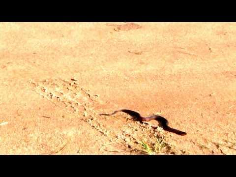 Viaggiare in Suriname - Paramaribo. Serpente d'acqua.