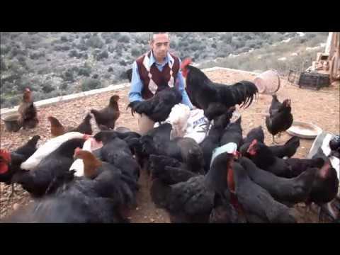 Tavukların Yem Aşkı :))