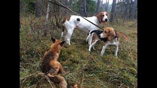 Охота #158 добыли лису