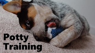 How To Potty Train A Blue Heeler Puppy - Housebreaking Australian Cattle Dog Puppies Fast & Easy