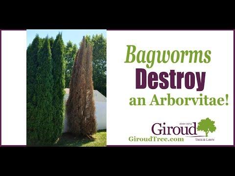Bagworm - Giroud Tree and Lawn