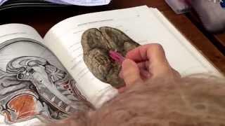 Кровоснабжение головного мозга.