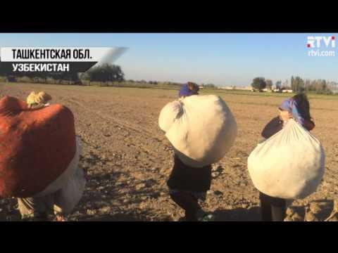 Как собирают хлопок в узбекистане