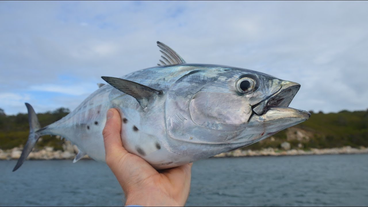 How To Catch False Albacore (albies) on Cape Cod with