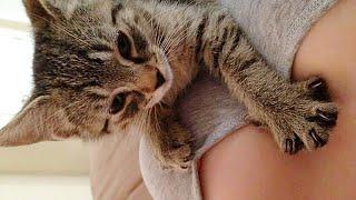 Молочный шаг у кошки - что это, какое значение?