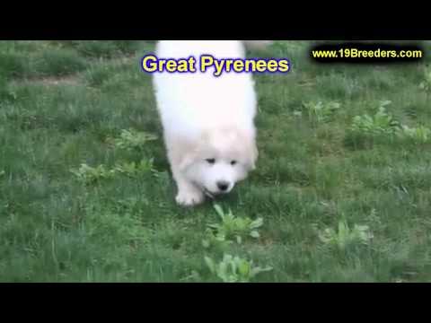 Great Pyrenees, Puppies, For, Sale, In, Billings, Montana, MT, Missoula, Great  Falls, Bozeman