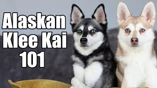 Alaskan Klee Kai 101: Ultimate guide to these mini huskies