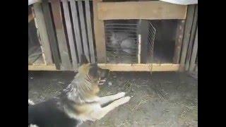 lover / Любовь собаки к кролику