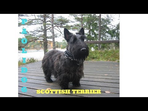 SCOTTISH TERRIER   TOP 10 INTERESTING FACTS