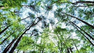 2019.05.03 富士山麓 新緑の森を散策 / 富士パインズパーク  [4K] #FreshGreen #MtFuji #PineTree