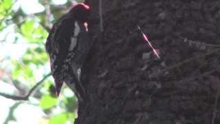Red-breasted Sapsucker at San Francisco Botanical Garden - Josiah Clark Naturalist