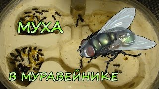 Что будет, если муха залетит в муравейник?