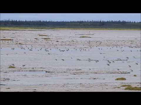 Sandpipers feeding on the mudflats on James Bay