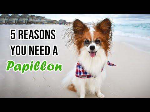 Top 5 Reasons You Need a Papillon dog // Percy the Papillon Dog
