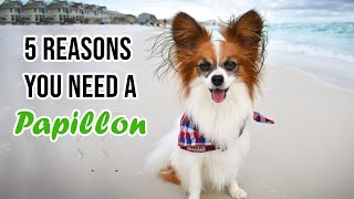 Top 5 Reasons You Need a Papillon Dog // Percy the Papillon Dog