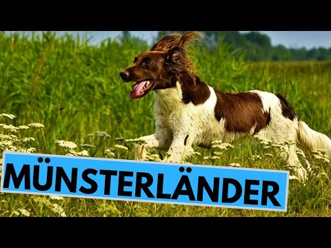 small-and-large-münsterländer-dog-breed---facts-and-information