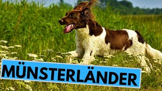 Small and Large Münsterländer Dog Breed  Facts and Information