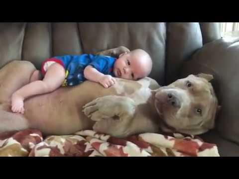 Питбуль и ребёнок фото