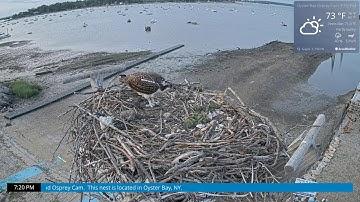 Osprey Cam Live 4K - Oyster Bay, NY