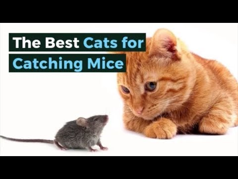 The Best Cats For Catching Mice