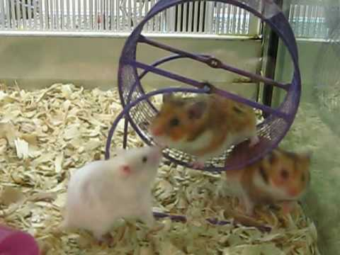 awww the cute soft hamsters at petsmart - YouTube
