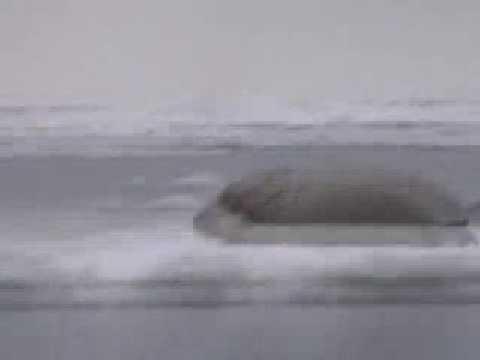 Gambell Alaska, seal hunting 2