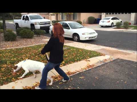 American Bulldog Mix learns basic obedience and off leash training for behavior modification