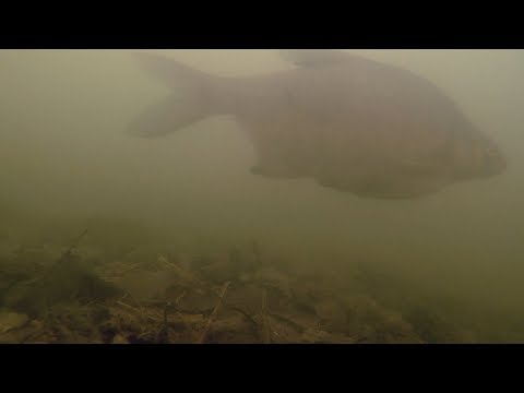 Grand Union Canal Underwater Bream Roach Perch Gudgeon Fishing