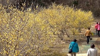 栃木県鹿沼市上永野のろうばいの里が見頃を迎えています