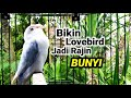 Semua Jenis Lovebird Bakal Tertarik Dengan Suara Lovebird Ini Langsung Ikut Ngekek  Mp3 - Mp4 Download