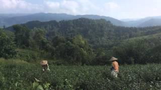 PT Harendong tea plantation, West Java, Indonesia