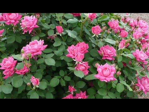 Making Garden Bed For Planting Pink Double Knock Out Roses Part 1