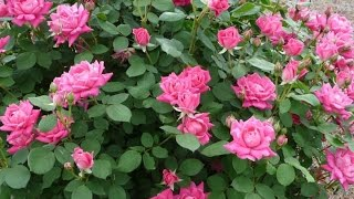 Making Garden Bed For Planting Pink Double Knock-out Roses (part 1): Simple Gardening Ideas By Aiman
