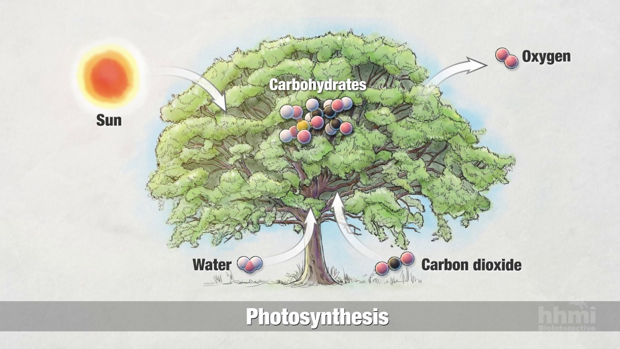 Photosynthesis Part 2 Chemical Process Hhmi Biointeractive Video Youtube Paul andersen explains the process of photosynthesis by which plants and algae can convert carbon dioxide into useable sugar. photosynthesis part 2 chemical process hhmi biointeractive video