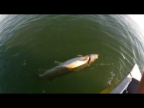 Angler Kills & Tosses Musky for No Reason