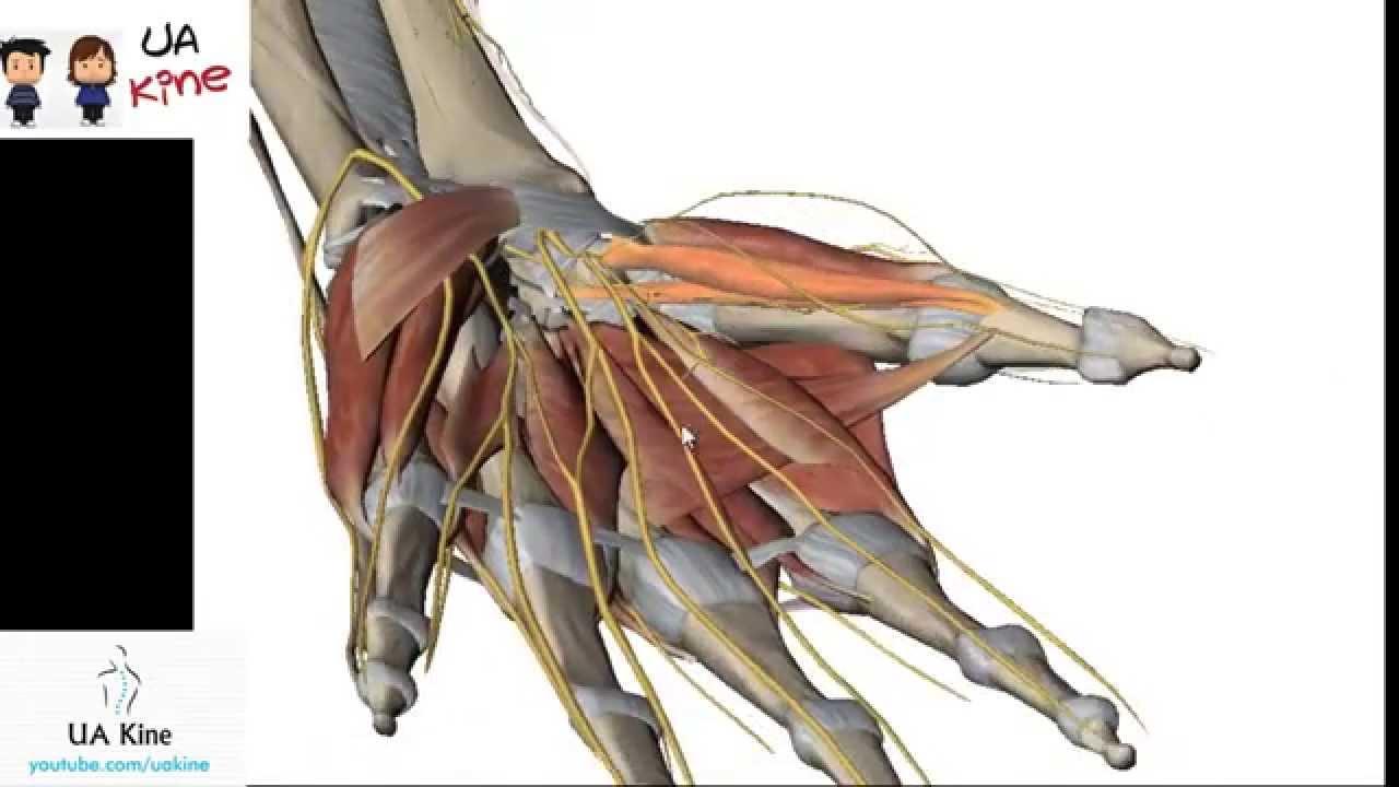 Anatomía Musculos Mano , Origen Inserción, Inervación y Función ...