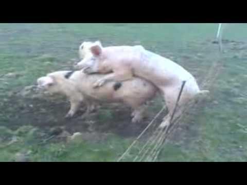 Schwein Sex