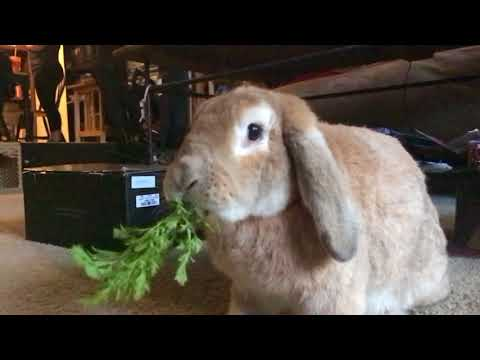 Dougal eating a carrot top