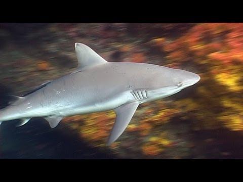 Requiem Sharks in Burma - Reef Life of the Andaman - Part 4