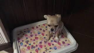 Как я ухаживаю за щенком чихуахуа Ульяшей