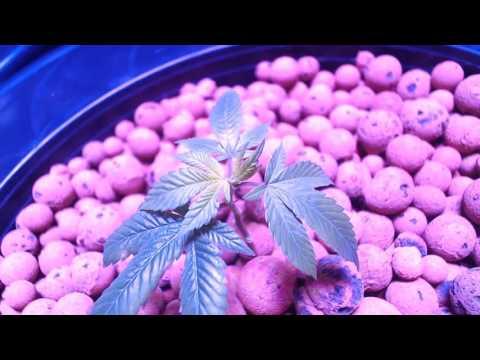 DWC Organic Hydroponic Cannabis Week: 0